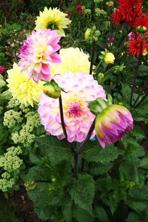 Brox_garden_dahlias